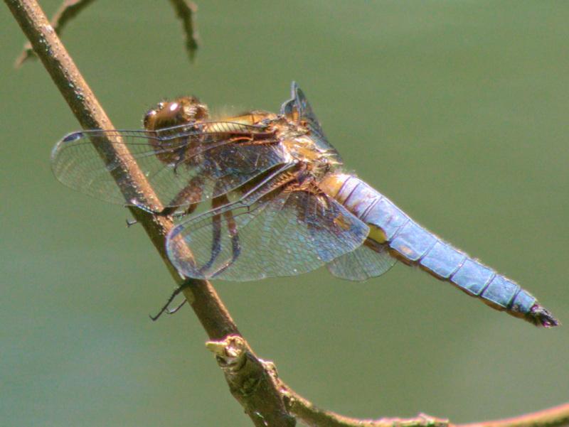 libellule déprimée sur une branche