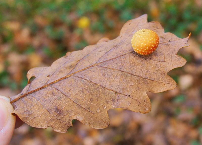 Galle cerise du chêne