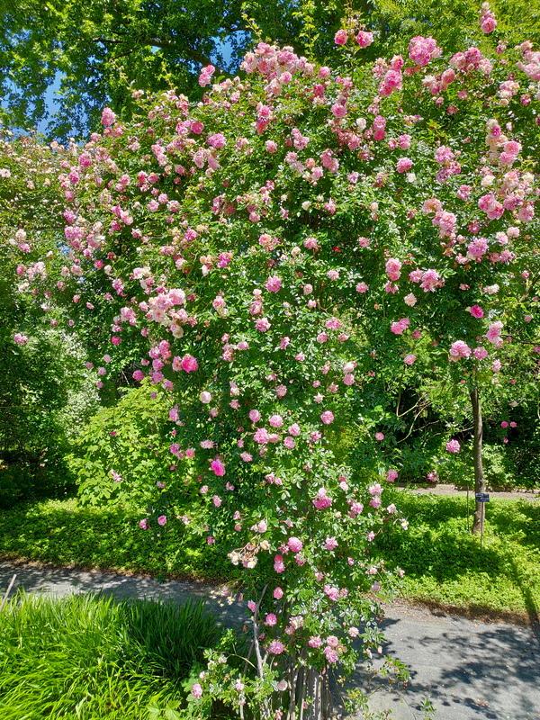 Roses roses grimpantes