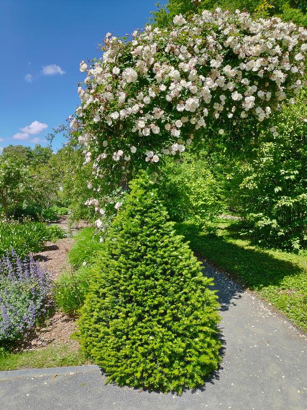 Roses blanches grimpantes
